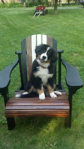 Berner in a Chair